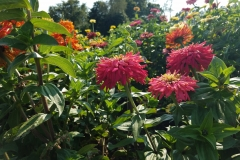 Three Pink Zinnias