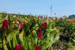 Red Cramer Celosia