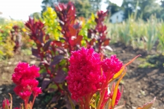 Close up of Red Plume Celosia