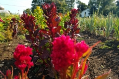 Red Flame Celosia Foliage