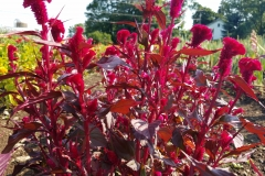Red Flame Celosia in Bloom