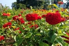 Group of Red Zinnias