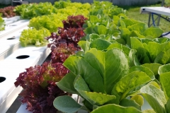 Romaine and Red Lollo Lettuce