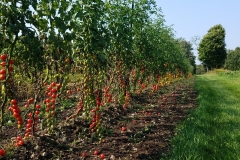 Red Cherry Tomatoes on Outdoor Trellis