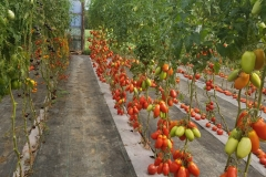 Pozzano Tomatoes in High Tunnel