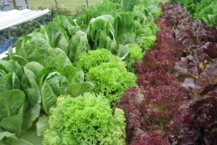 Five Varieties of Lettuce