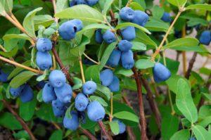 haskap berries on bush